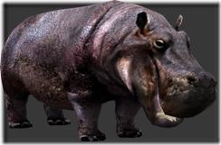 Hippopotamus thumb