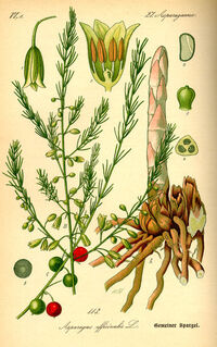 Asparagus officinalis0