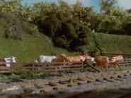 Cows7