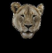 Lion-closed