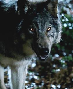 WolfForm001