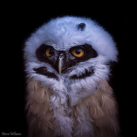 File:Young Spectacled Owl.jpg