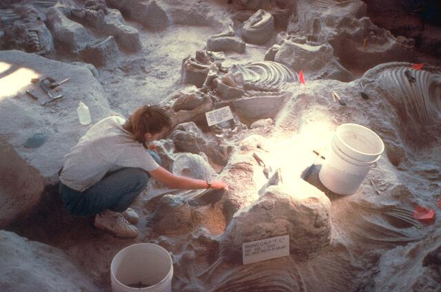 File:Ashfall fossil beds - Baby rhino T. L. -1-.jpg