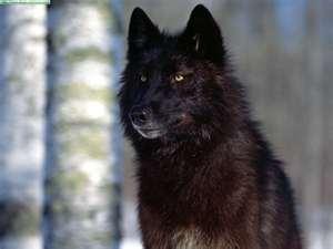 File:Wolves 2.jpg
