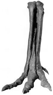335px-Alectrosaurm olseni