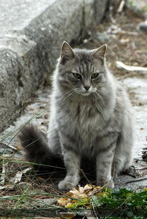 File:Gray Longhair Cat by NilgunT.jpg