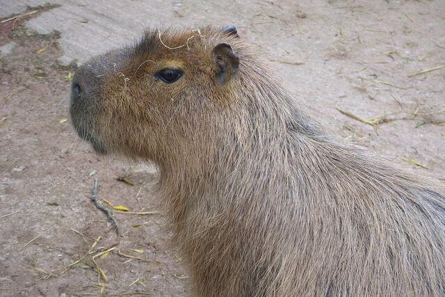 File:Capybara.jpg