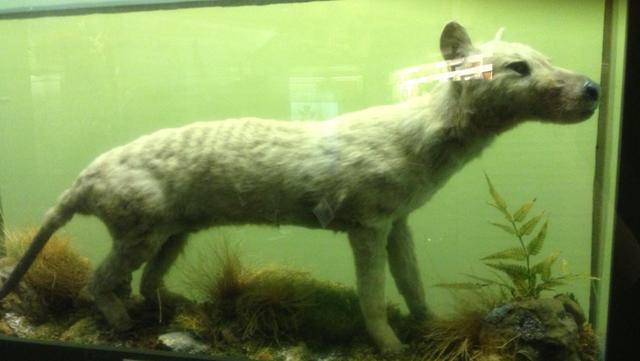 File:Thylacine .png