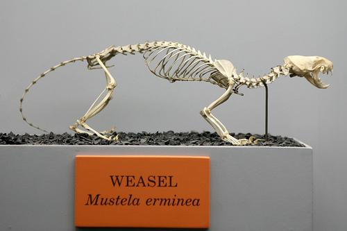 File:Weasel (Mustela erminea).jpg