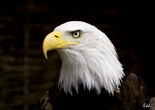 File:Bald eagle.jpg