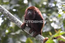 State Jungle Primate-Red Howler Monkey