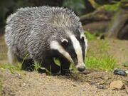 Badger r
