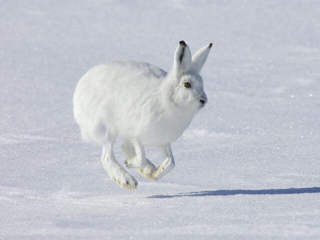 File:ArcticHare.jpg