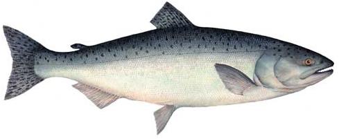 File:Salmon.png