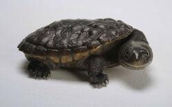 Black turtle which make you laugh wallpaper