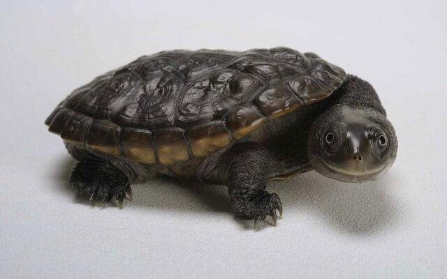 File:Black turtle which make you laugh wallpaper.jpg
