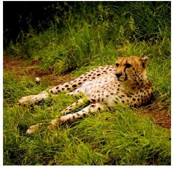 File:Cheeta.jpg