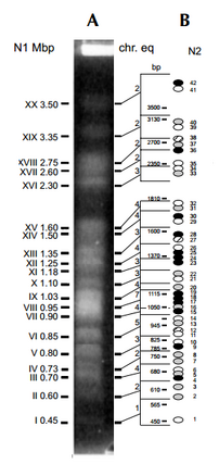 Molecular kyrotype of T. cruzi