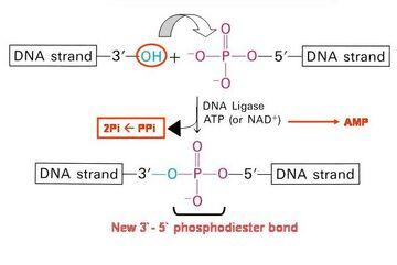 DNA Ligase reaction