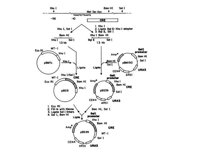 File:Crelox yeast2.jpg
