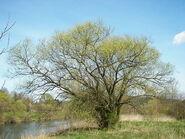 Herbshop - Salix Alba