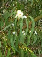Herbshop - Eucalyptus globulus