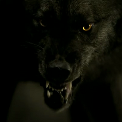 Tyler in his wolf form