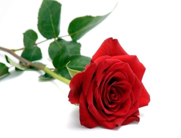 File:Red rose .jpeg