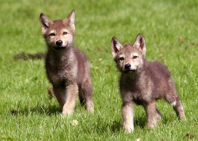 File:Baby Wolves.jpg