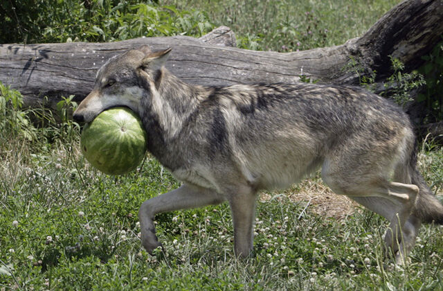 File:2-wolves-watermelon.jpg