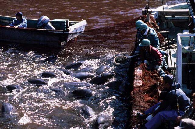 File:Dolphins-in-Net2.jpg