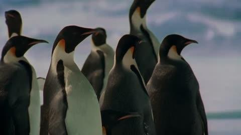 La marche de l'empereur - The Emperor Penguin's Journey