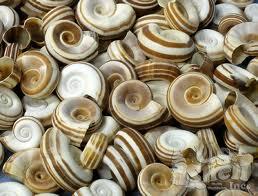 File:Seashells1.jpg
