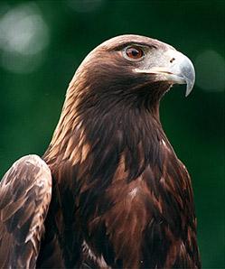 David-eagle