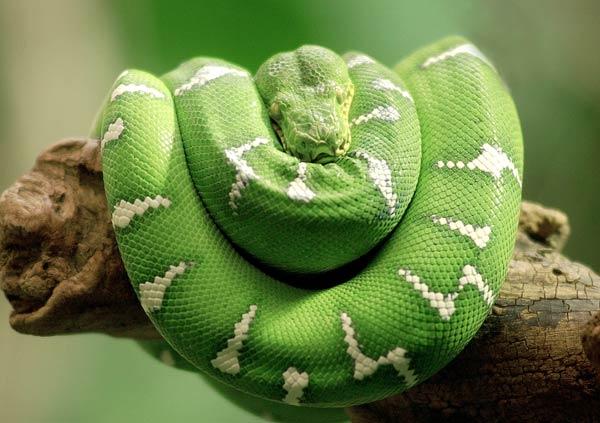File:Emerald Tree Boa.jpg