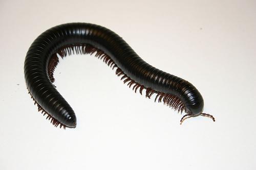 File:Giant Millipede 1.jpg