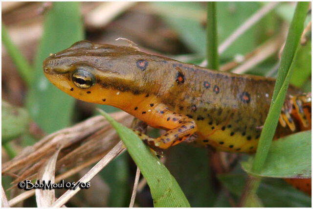 File:Red-Spotted Newt 1.jpg