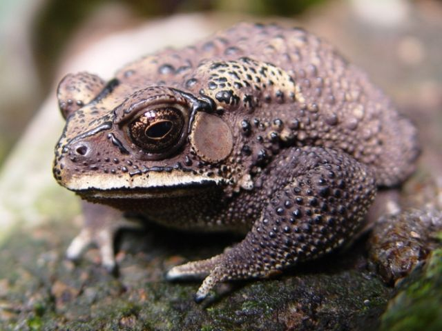 File:Asian Common Toad.jpg