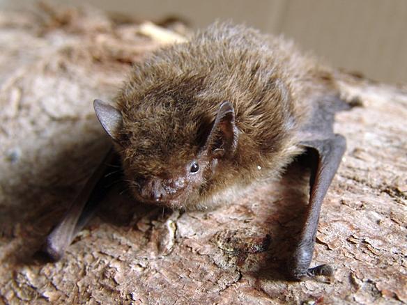 File:Pipistrellus nathusii.jpg
