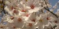 桜のような恋でした (Sakura no you na Koi Deshita)