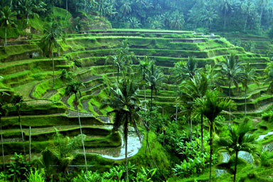 File:Ubud-rice-terrace01.jpg