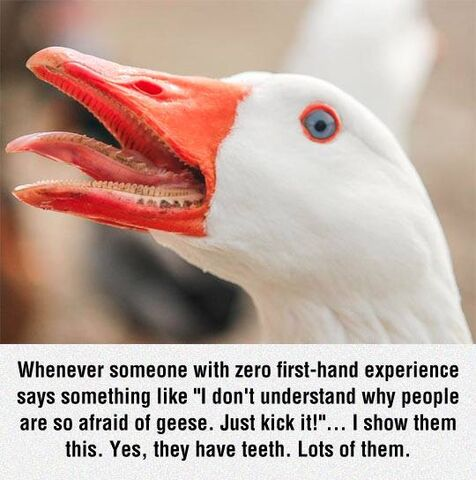 File:Geese are scary.jpg