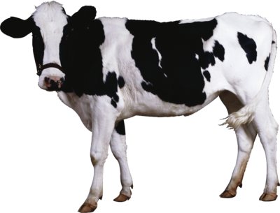 Cow PNG2127