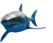 Great-White-Shark-psd82957