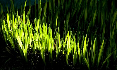 File:Glowgrass.jpg