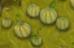 Melon crop