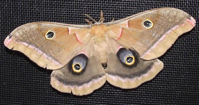 File:MothsO84.jpg