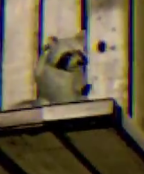 File:Baby Raccoon.png