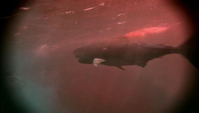 File:Shark in red liquid.jpg