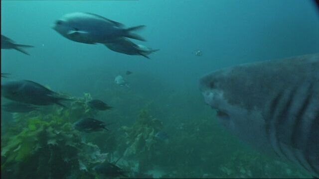 File:SM1x2 MegalodonJuvenileScaresFish.jpg